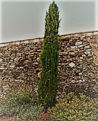 Les cyprès du cimetière